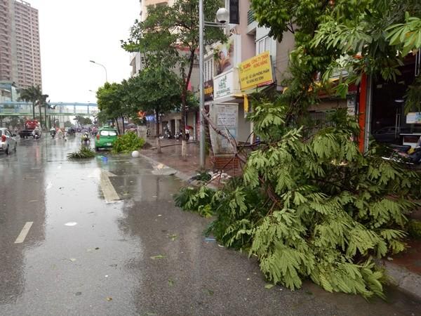 Nhiều cây bị đổ mặc dù đã được buộc và kê chằng gốc cẩn thận