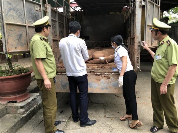 Lực lượng chức năng liên tiếp phát hiện nhiều vụ vận chuyển, nhập lậu lợn không có nguồn gốc hợp pháp