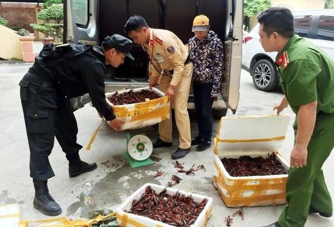 Gần 50kg tôm hùm đất ngoại lai được nhập lậu vào Việt Nam tiêu thụ đã bị CSGT phát hiện, thu giữ