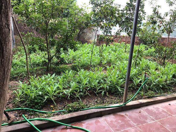 Vườn cây anh túc trồng trong khuôn viên nhà nghỉ