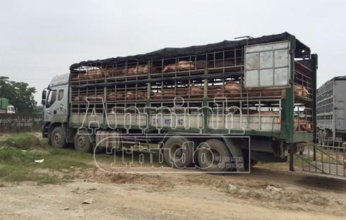 Chiếc xe chở lợn bệnh bị tạm giữ