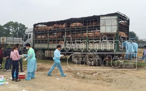 Lực lượng chức năng lấy mẫu kiểm dịch gần 200 con lợn nghi vấn mắc bệnh