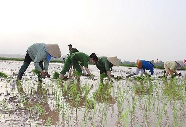 Hội phụ nữ CAH Phú Xuyên và đoàn thanh niên xuống đồng cấy lúa vụ xuân giúp đồng bào công giáo, gia đình các hội viên phụ nữ nghèo, Hội cựu chiến binh