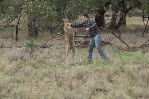 Anh Tokins đấm vào mặt con kangaroo để giải cứu chó cưng