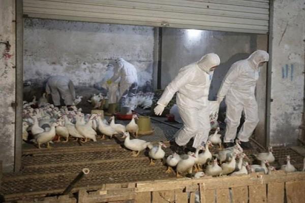 Tiêu hủy gia cầm nhiễm bệnh nhằm ngăn chặn virus cúm lan rộng