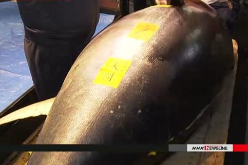 Con cá ngừ vây xanh nặng 278kg bắt được ở tỉnh Aomori, Nhật Bản