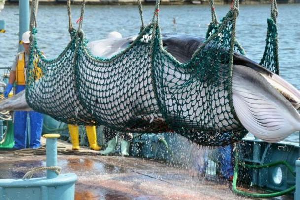 Vào tháng 7-2019, Nhật sẽ nối lại đánh bắt cá voi vì mục đích thương mại