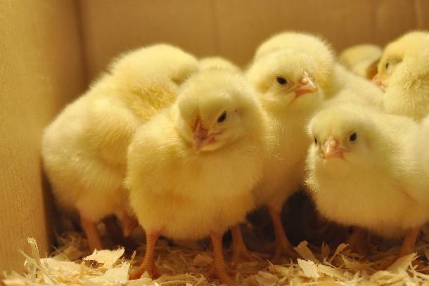 Phương pháp lạ: Cho trẻ em nuôi gà con để giảm nghiện internet