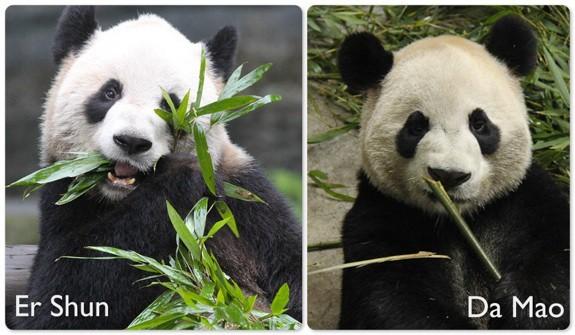 Vì sao Canada gửi lại Trung Quốc 2 gấu trúc khổng lồ?