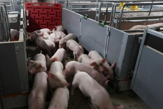 Chủng cúm lợn mới phát hiện ở Trung Quốc được đặt tên là G4