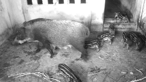 Chàng trai 9X kiếm tiền tỷ: Thành công nhờ... bỏ việc về quê nuôi lợn ảnh 2