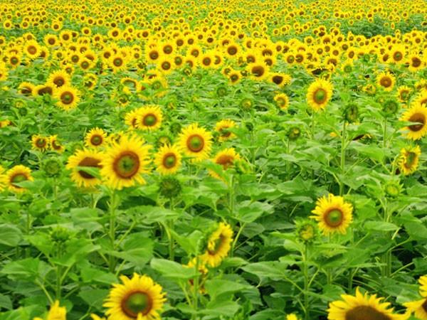 Cánh đồng hoa hướng dương và những vườn cam bạc tỷ ảnh 1