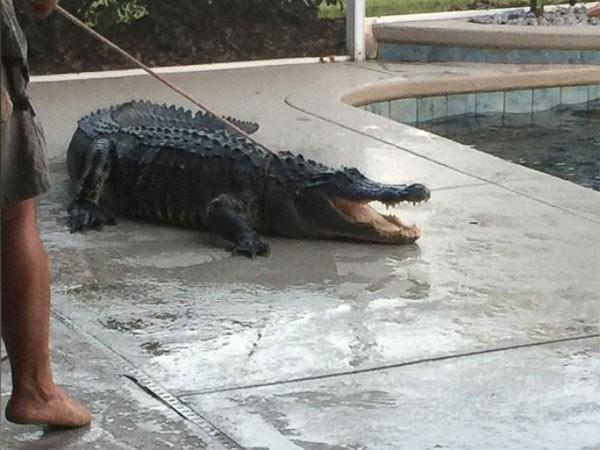 Hết hồn với cá sấu trong hồ bơi ảnh 1