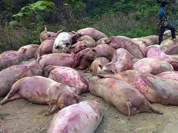 Hàng chục con lợn chết bệnh bị người dân tẩu tán ảnh 1