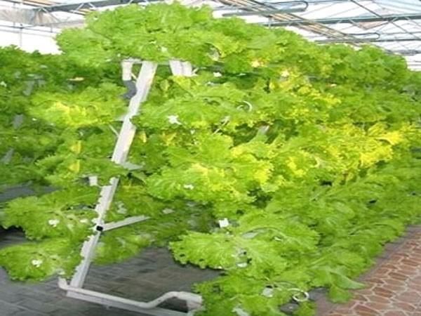 Nhà máy trồng cây không cần đất
