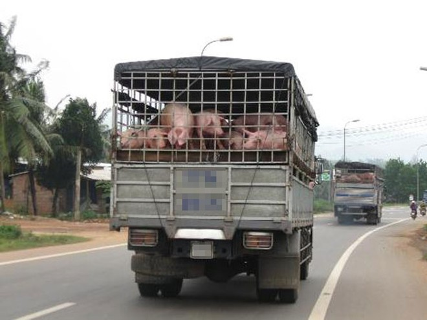 Việc xuất khẩu lợn mỡ sang Trung Quốc vẫn là tiểu ngạch