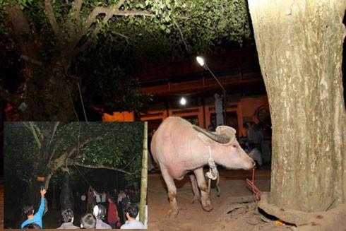 Yêu cầu chấm dứt nghi thức thắt cổ trâu ở Lễ hội đền Đông Cuông ảnh 1