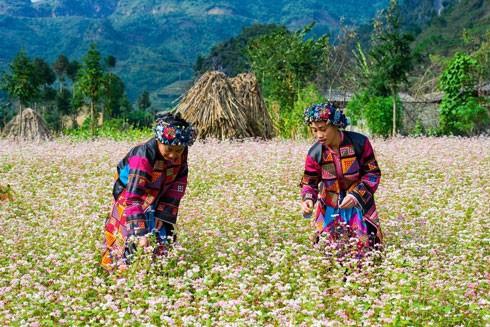 Hà Giang có sức quyến rũ đặc biệt bởi những cánh đồng hoa tam giác mạch