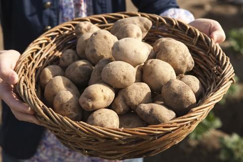 Một loại khoai tây biến đổi gene