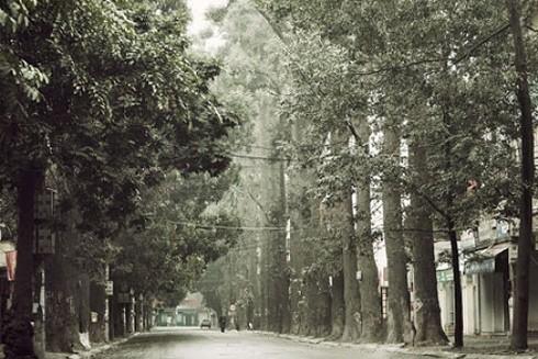 Hàng cây sao đen trăm tuổi trên phố Lò Đúc