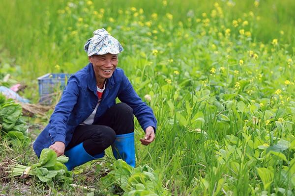 Trước đây, vào đầu vụ đông trên khắp các cánh đồng, bãi sông, triền đê hoặc vài vạt đất được tận dụng để trồng rau củ. Cải cũng là một loại rau đem về cho người nông dân lam lũ một nguồn thu nhập đáng kể. Sau khi thu hoạch vụ cải thu hoạch sớm, người nông dân thường chăm sóc kỹ càng lứa cải cuối để lấy giống cho mùa sau. Vì vậy, đã có bao mùa hoa cải đi vào thơ văn, nhạc hoạ.