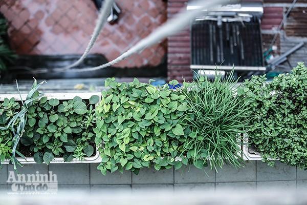 Những chậu rau xanh mướt vừa cung cấp rau xanh cho gia đình vừa làm nhiệm vụ điều hoà không khí, chống nóng... Không chỉ ở sân thượng, gia đình anh Tùng sử dụng hộp xốp để trồng rau ở hành lang các tầng