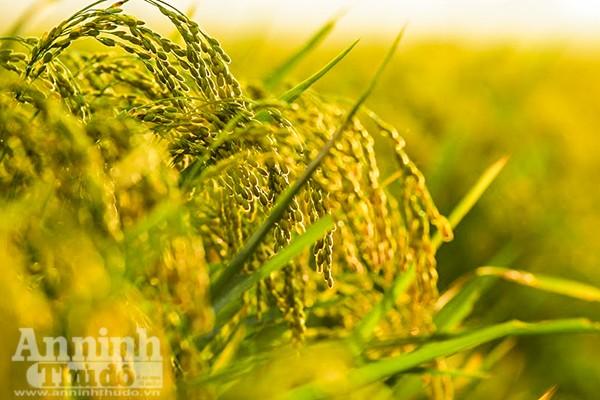 Những cánh đồng tuyệt đẹp của Hà Nội trong ngày mùa bội thu ảnh 2