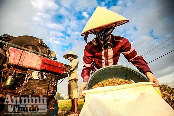 Những cánh đồng tuyệt đẹp của Hà Nội trong ngày mùa bội thu ảnh 5