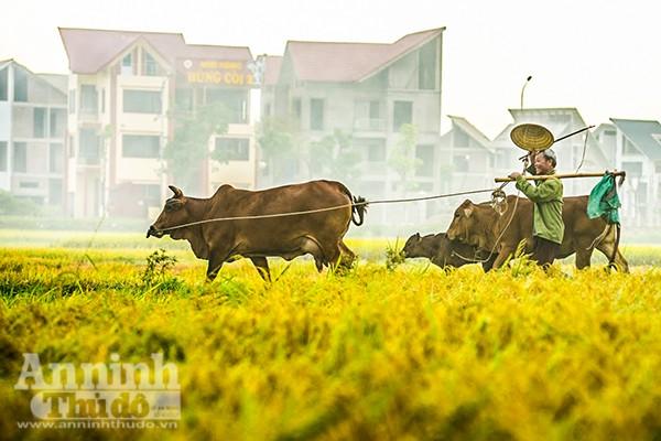 Những cánh đồng tuyệt đẹp của Hà Nội trong ngày mùa bội thu ảnh 6