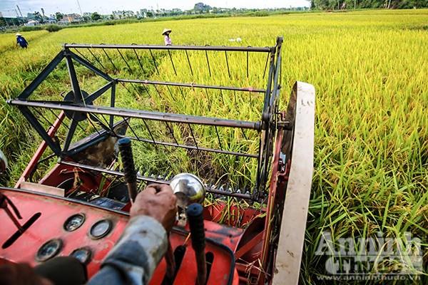 Những cánh đồng tuyệt đẹp của Hà Nội trong ngày mùa bội thu ảnh 3