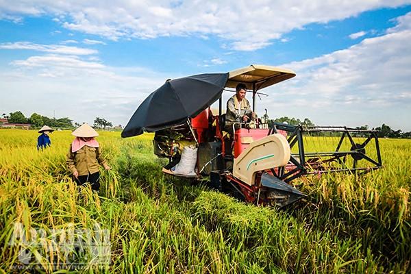 Những ngày qua, trên những cánh đồng ngoại thành Hà Nội nhộn nhịp không khí thu hoạch