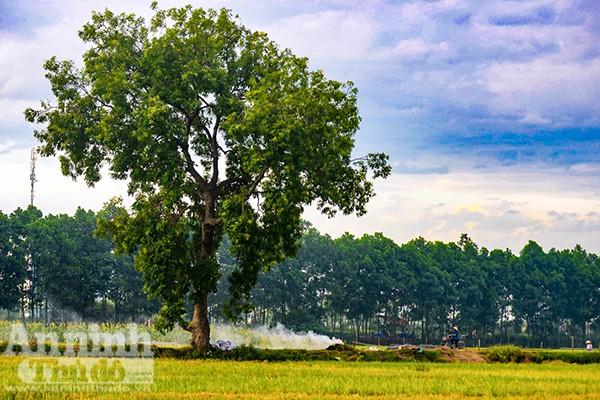 Những cánh đồng tuyệt đẹp của Hà Nội trong ngày mùa bội thu ảnh 7