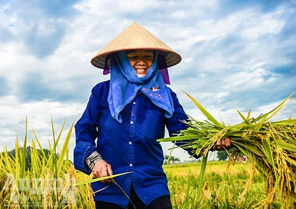 Những cánh đồng tuyệt đẹp của Hà Nội trong ngày mùa bội thu ảnh 4