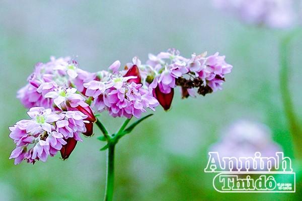 Cồn cào nỗi nhớ mang tên hoa tam giác mạch... ảnh 3