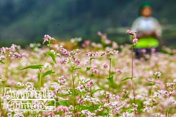 Cồn cào nỗi nhớ mang tên hoa tam giác mạch... ảnh 11