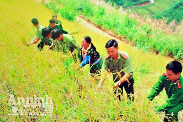 Công an Sơn La cùng dân gặt lúa trên những cánh đồng vùng cao