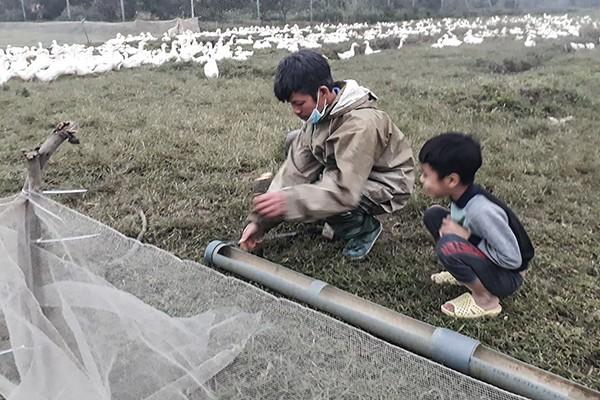 Nông dân tự bao khu vực chăn thả bằng lưới, bố trí đường nước riêng để bảo vệ đàn gia cầm trước dịch cúm