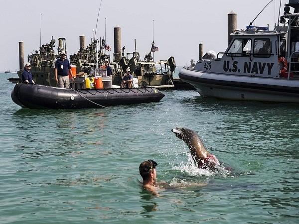 """Khám phá """"lực lượng đặc nhiệm cá heo, sư tử biển"""" của quân đội Mỹ ảnh 2"""