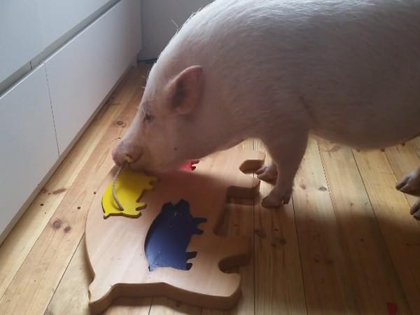 Chú lợn Moritz với khả năng nhận biết màu