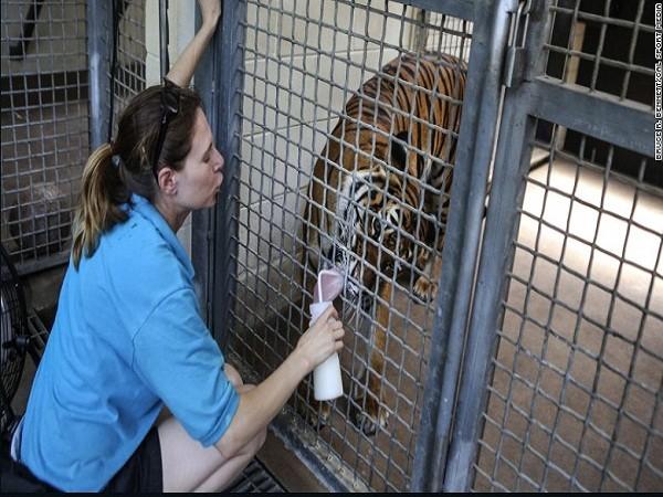 Mỹ: Hổ tấn công, giết chết người nuôi ảnh 1