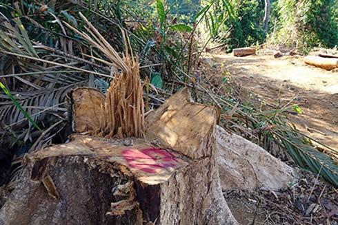 Hơn 50 cây gỗ tự nhiên bị chặt hạ