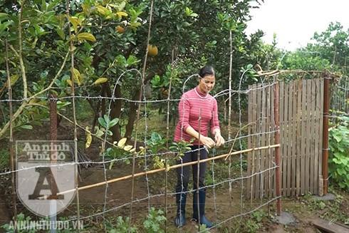 Gia đình bà Vũ Thị Tha đã phải gia cố lại vườn bưởi khi chuẩn bị đến ngày thu hoạch