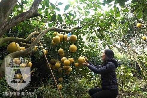 Người dân trồng bưởi Diễn vui mừng khi năm nay bưởi được mùa lại được giá