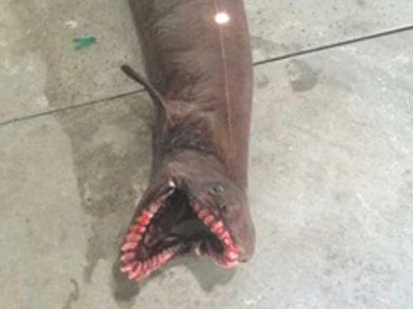 """Bắt được con cá mập """"thời tiền sử"""" đáng sợ với 300 răng ảnh 1"""