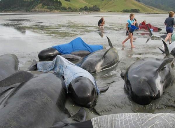 New Zealand: 143 con cá voi hoa tiêu bị mắc kẹt trên bãi biển ảnh 1