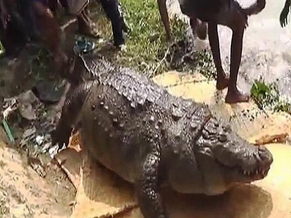 Cá sấu phát phì do ăn quá nhiều gà và dê
