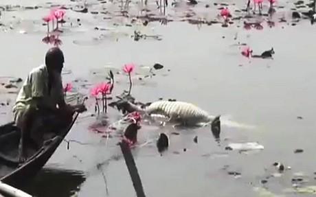 Một con cá sấu béo chết nổi trong ao của ông Sarwar