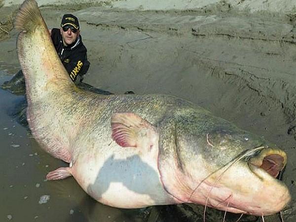 Con cá da trơn này nặng đến 127kg, dài 2,75m