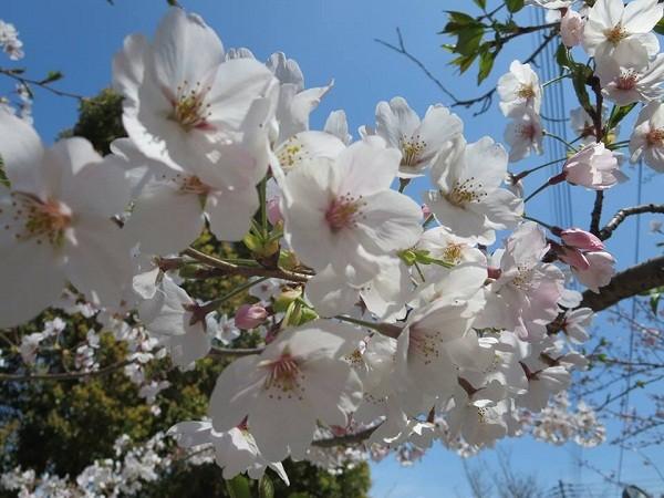 Mãn nhãn ngắm hoa anh đào nở rực rỡ trên đất nước Nhật Bản ảnh 14