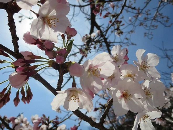 Mãn nhãn ngắm hoa anh đào nở rực rỡ trên đất nước Nhật Bản ảnh 10